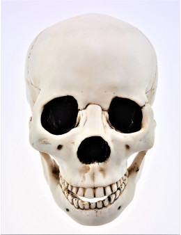 Crâne en résine